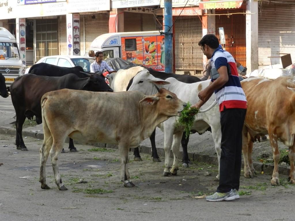 vaca sagrada india