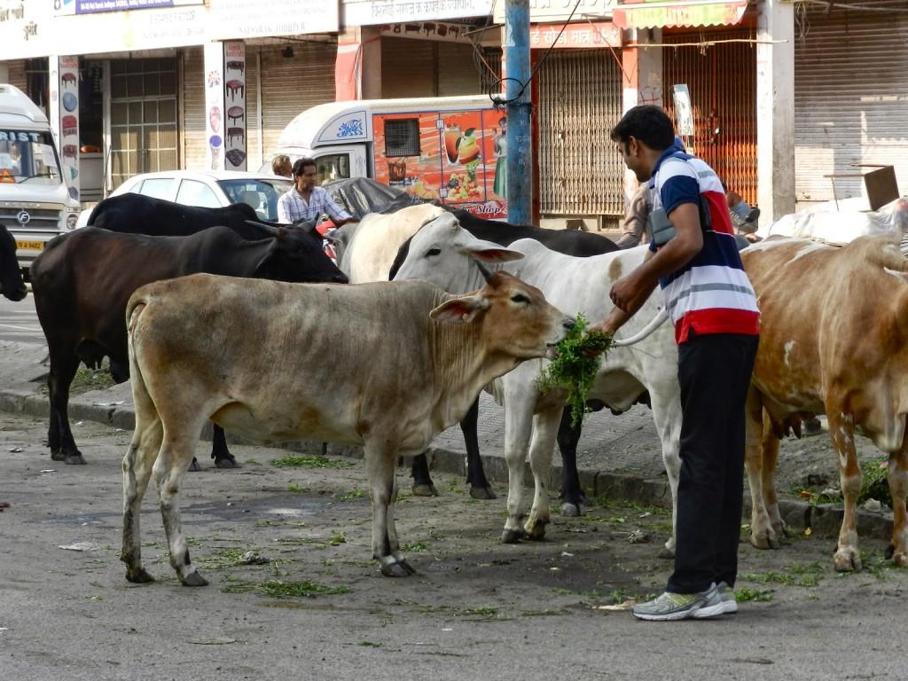 Nosso motorista Deepak alimentando as vacas das ruas de Jodhpur