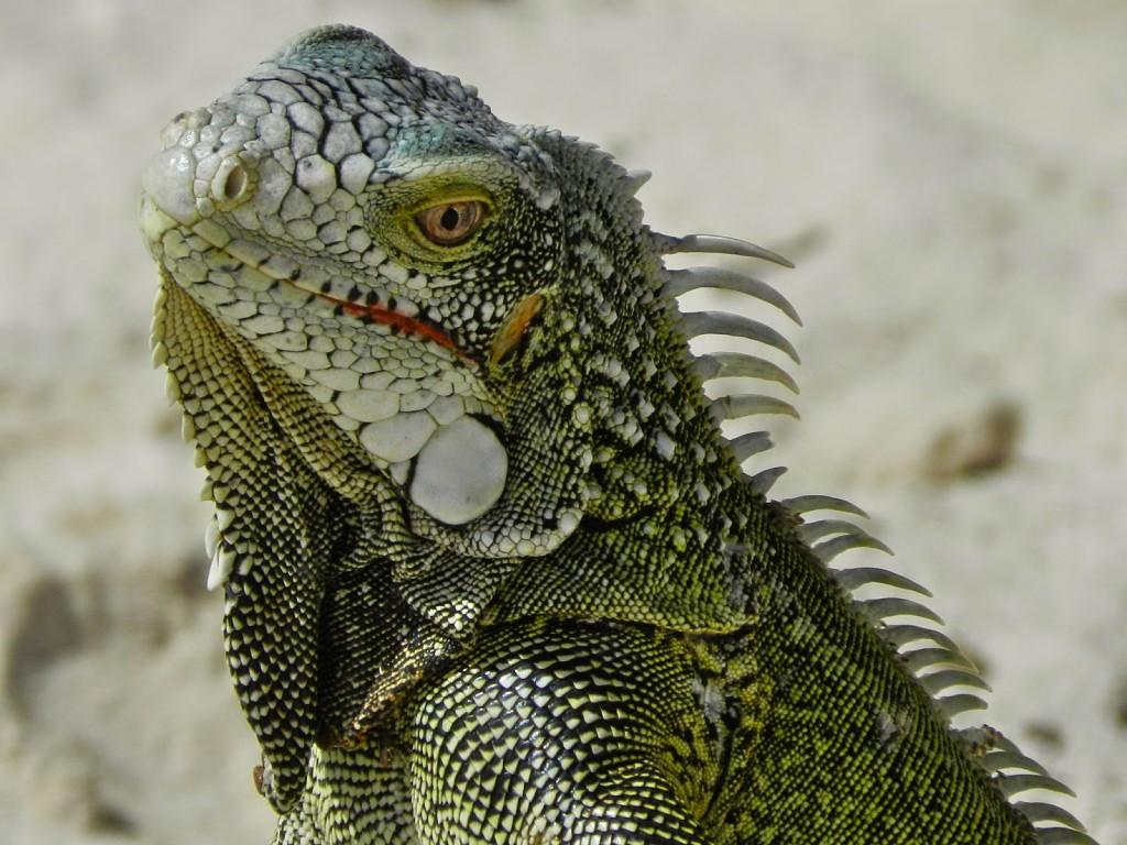 Cas Abao Beach IGUANAS Curacao o que fazer dicas viagem praias 04