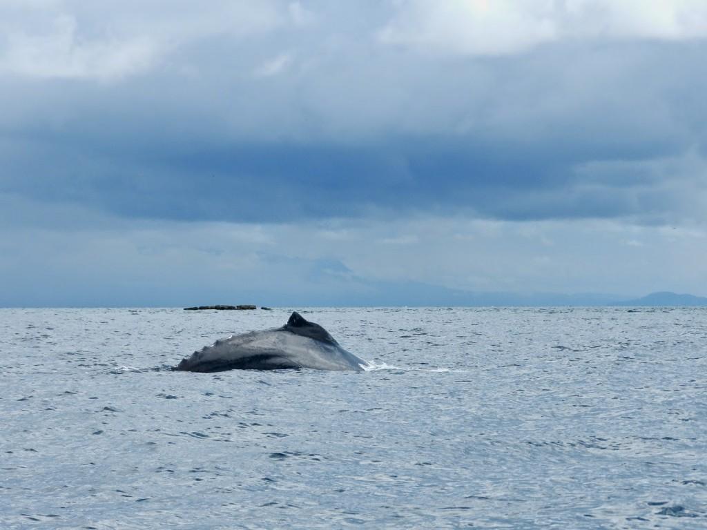 WHALE WATCHING CONTADORA observacao de baleias ballenas jubarte pearl islands islas perlas panama lalarebelo blog de viagem 02