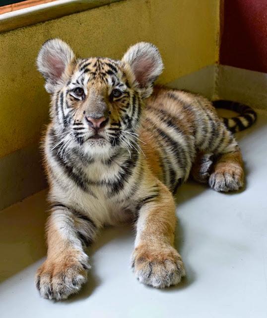 02 tiger kingdom chiang mai tailandia