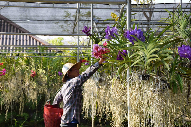 58 orchid farm chiang mai tailandia