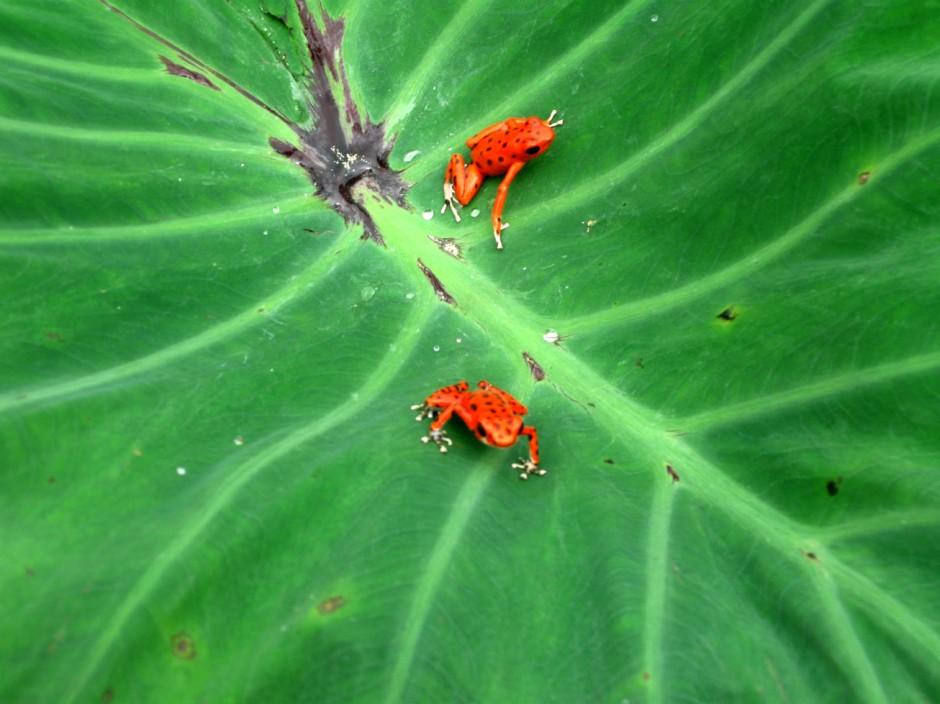O sapinho vermelho que dá nomeia a praia | foto: maigamilbourne.com