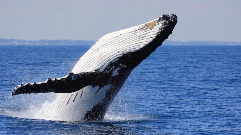 Observação de baleias em Samaná, República Dominicana | foto: cultourall.com