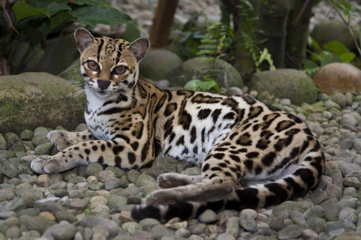Gato-maracajá pelas trilhas do Parque Corcovado, Costa Rica