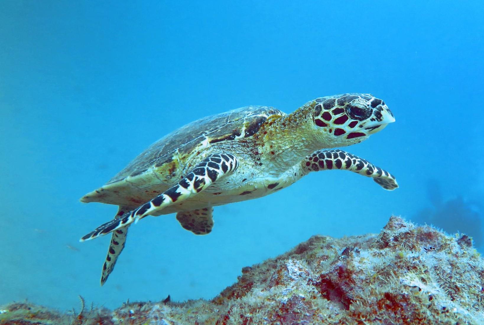 Tartaruga Carey en Isla Del Caño - Costa Rica | foto: Roberto Vargas / scubapuravida.com