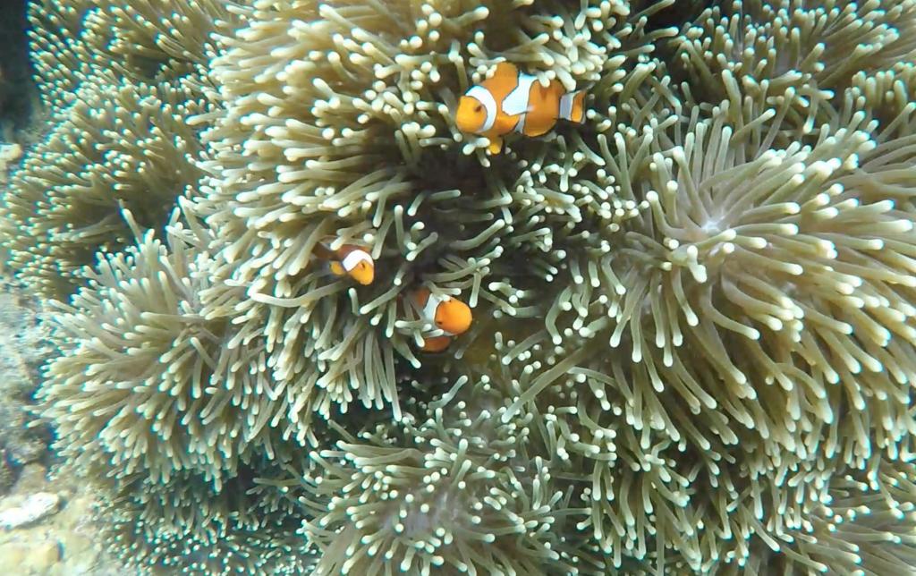 Peixe palhaço, mais conhecido como NEMO, no snorkel em El Nido