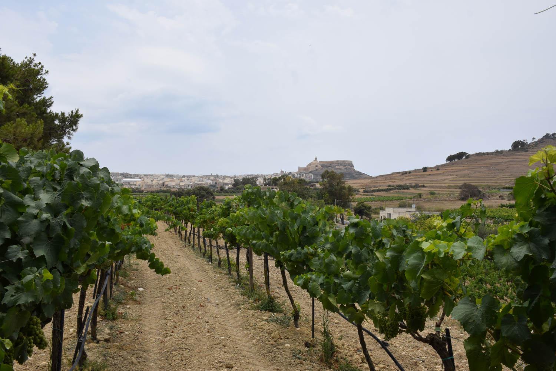 Nos vinhedos da Ta' Mena Estate com vista para a Cittadella de Gozo, Malta