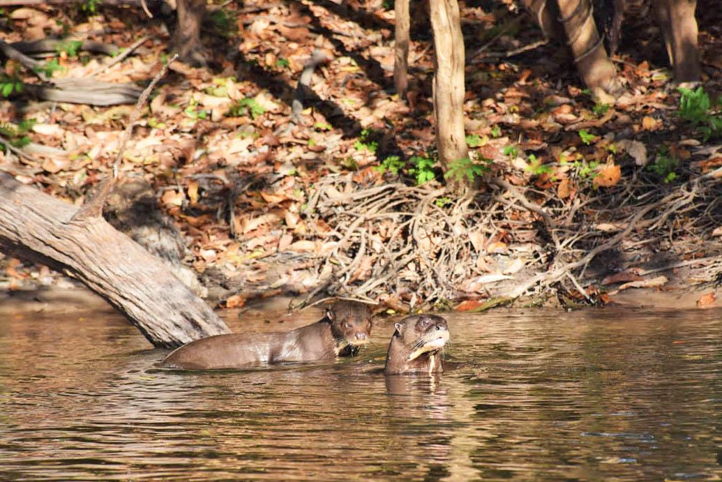Ariranhas nos recepcionando na Amazônia
