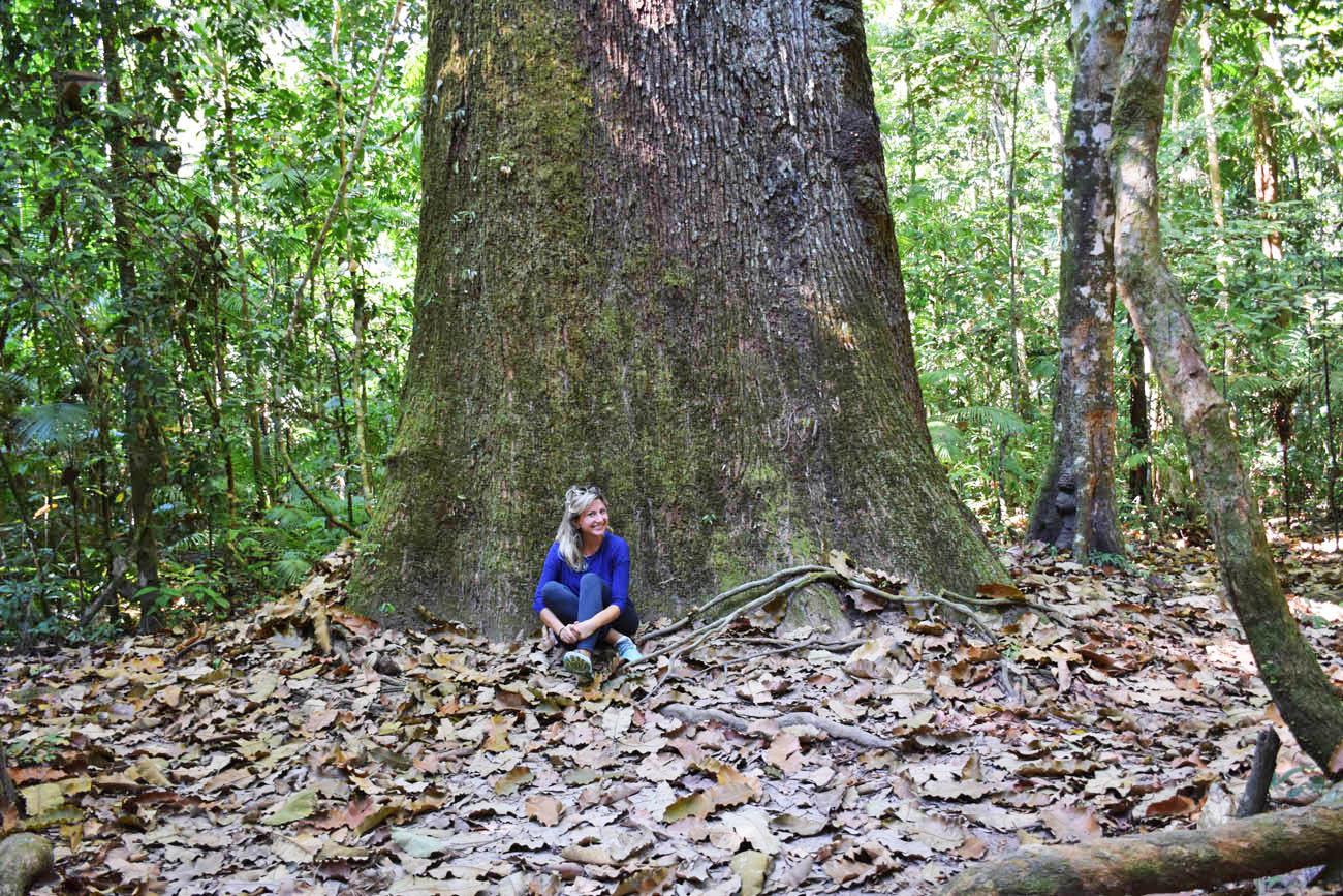 A castanheira com mais de 600 anos de idade! Floresta Amazônica
