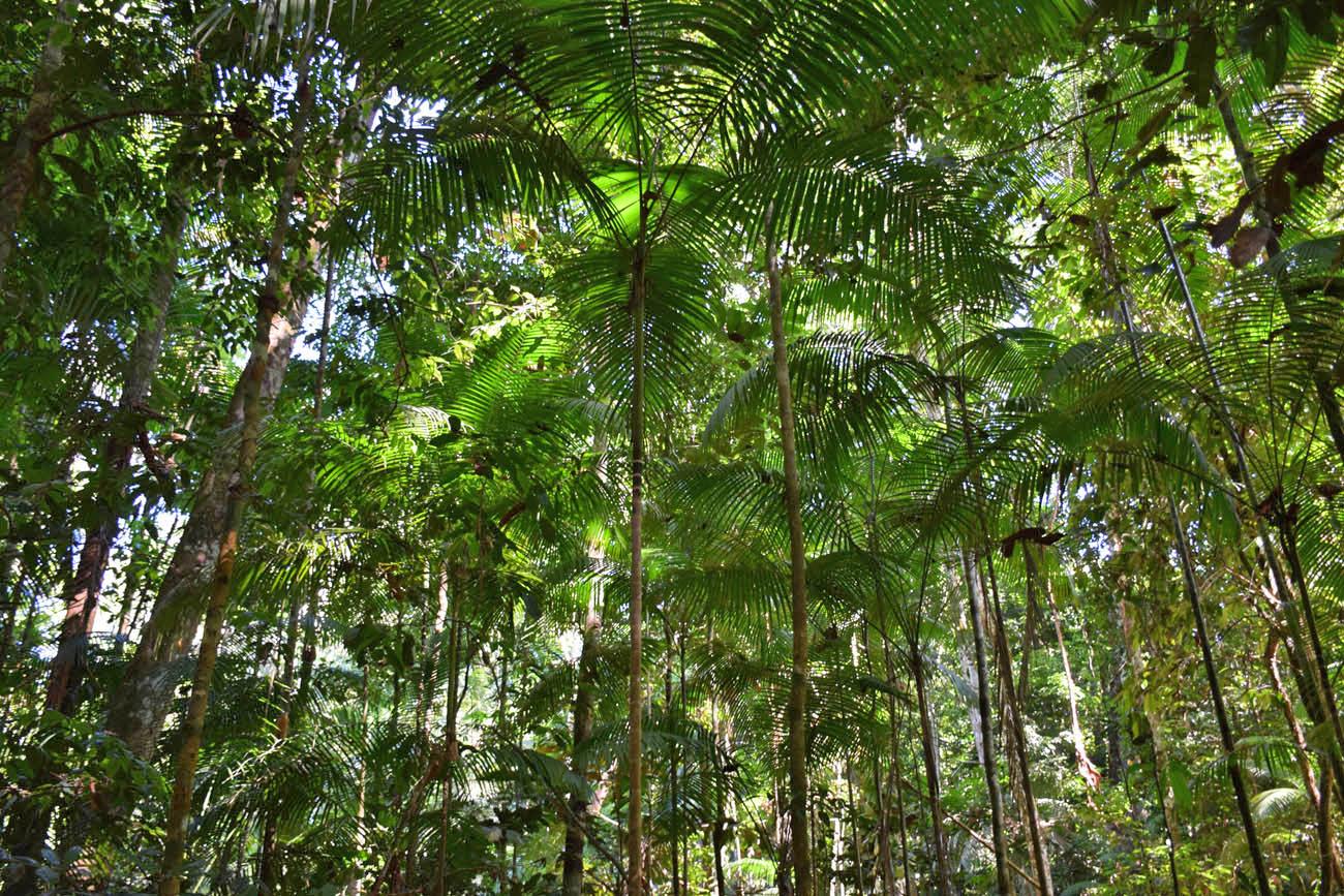 Árvores na Trilha da Castanheira - essa fininha é a de açaí!