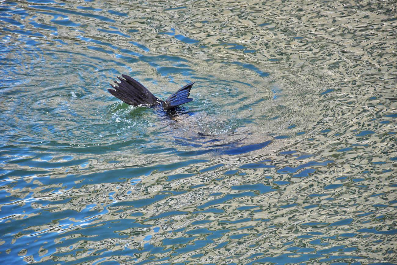 Focas que víamos diariamente da janela, nadando na marina em frente ao hotel