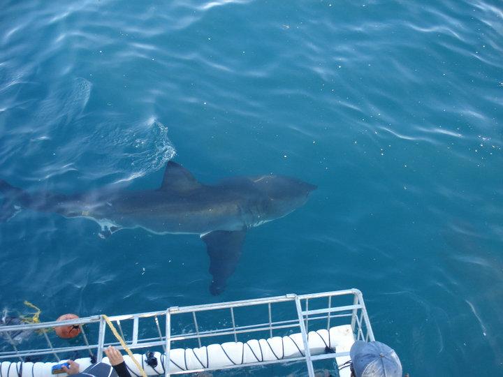Mergulho com tubarão branco, em gaiola - África do Sul