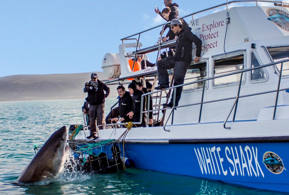 Mergulho com tubarão branco | foto: White Shark Diving Company