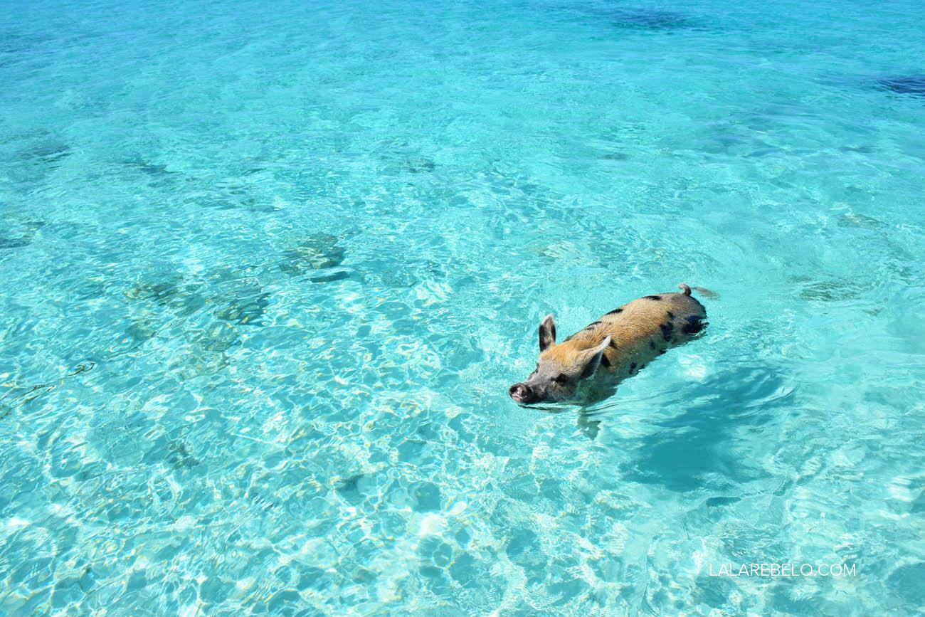 E os porquinhos vêm receber os turistas!! | Pig Beach - Exuma - Bahamas