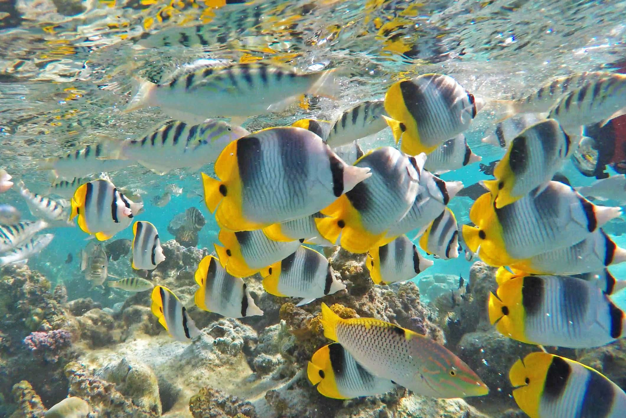 Vida marinha ao redor do Le Taha'a Island Resort | foto: Lala Rebelo