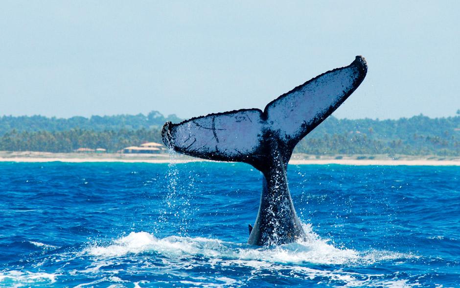 baleias jubarte praia do forte bahia