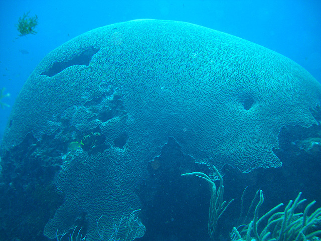 brain coral tobago