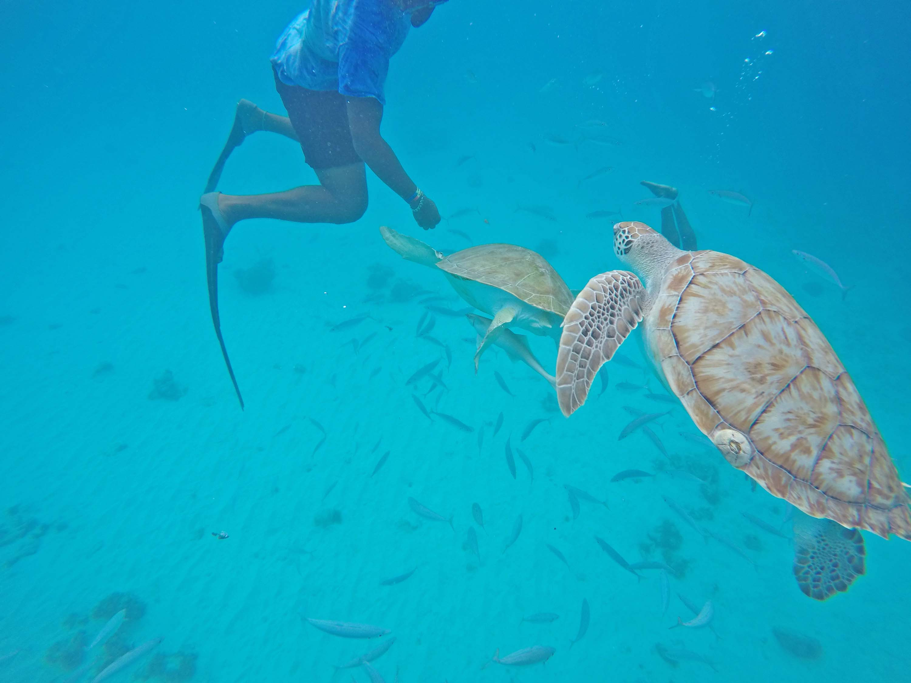 barbados blue - snorkel turtles